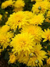 "Load image into Gallery viewer, 6"" Fall Mums - 3 Pack"