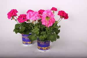 "5 pack - 4.5"" Geranium AVAILABLE ONLY IN STORE"