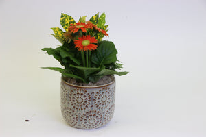 "Gerbera Daisy Arrangement in a 5.5"" Ceramic Pot"