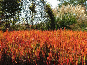 Ornamental Grass Imperata Red Baron - Japanese Blood Grass 1 Gal