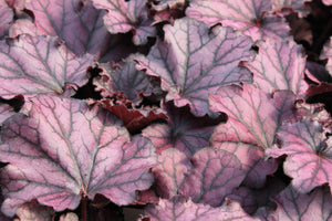 Heuchera dark plum 1gal