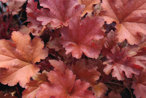 Heuchera peach 1gal SOLD OUT