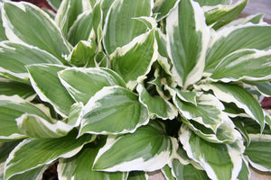 Hosta Patriot 1gal