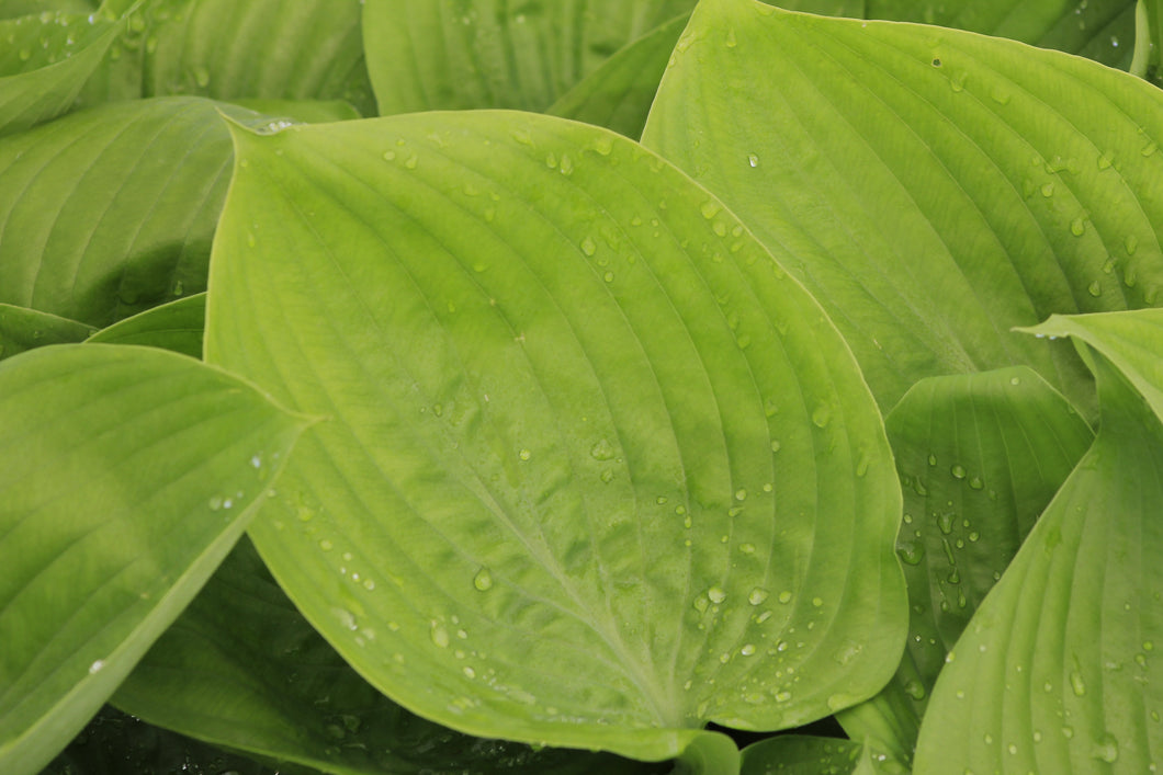Hosta Sum and Substance 1gal - AVAILABLE IN STORE