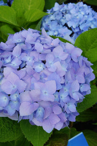 Hydrangea mac. Endless Summer 3gal