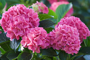 Hydrangea mac. Forever Pink 2gal AVAILABLE IN STORE ONLY ON SALE