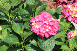 Hydrangea Penny Mac 5gal AVAILABLE ONLY IN STORE