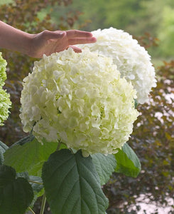 Hydrangea arb. Incrediball 2gal AVAILABLE IN STORE ONLY