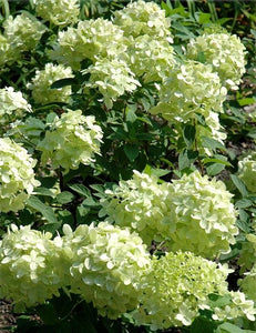 Hydrangea pan. Little Lime PW 2gal