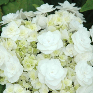 Hydrangea Wedding Gown 2gal SOLD OUT