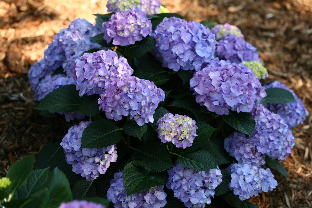 Hydrangea Let's Dance Blue Jangles PW 2gal AVAILABLE ONLY IN STORE