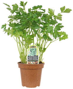 Italian Parsley AVAILABLE IN STORE ONLY