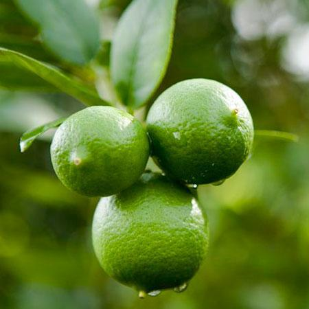 Key Lime (Thorny) - 5 gallon citrus ONLY AVAILABLE IN STORE