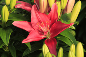 Asiatic Lily Tiny Pearl 1gal SOLD OUT FOR THE SEASON