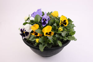 Pansy Bowls - SOLD OUT END OF SEASON