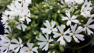 Phlox creeping white 1gal ONLY AVAILABLE IN STORE