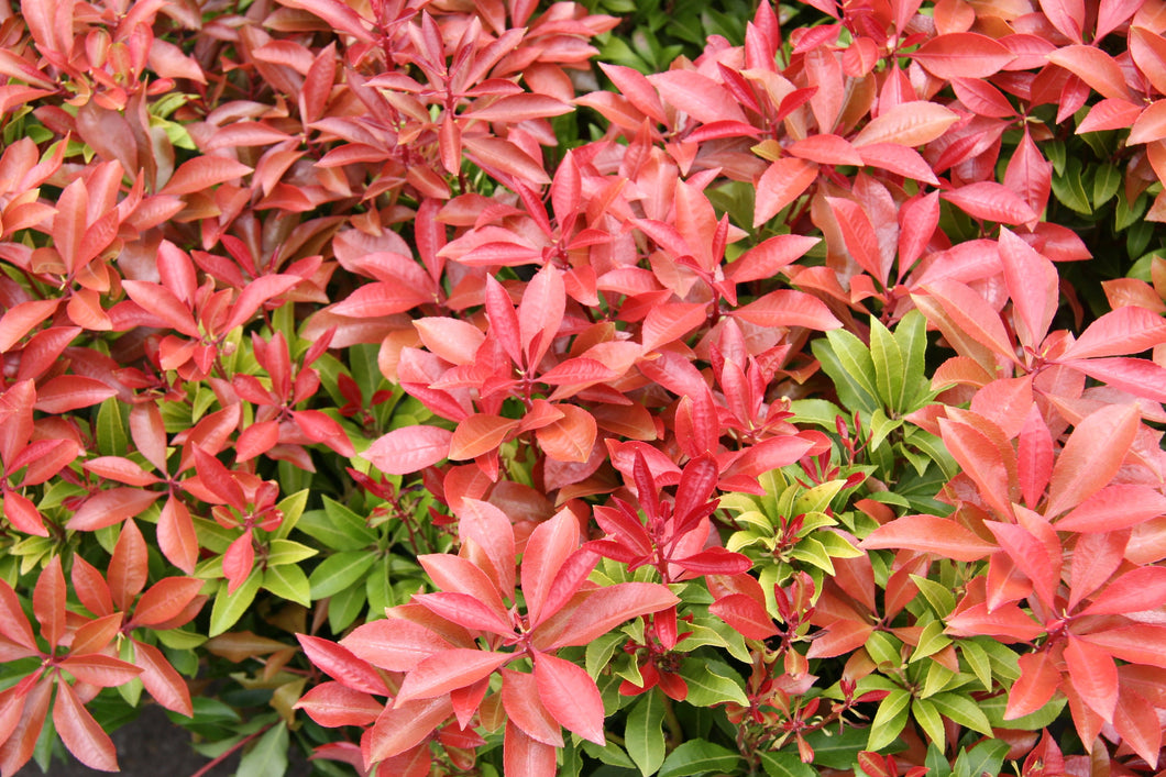 Pieris Mountain Fire 2gal SOLD OUT FOR THE SEASON