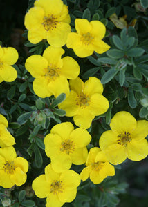 Potentilla Happy Face Yellow 2gal SOLD OUT FOR THE SEASON