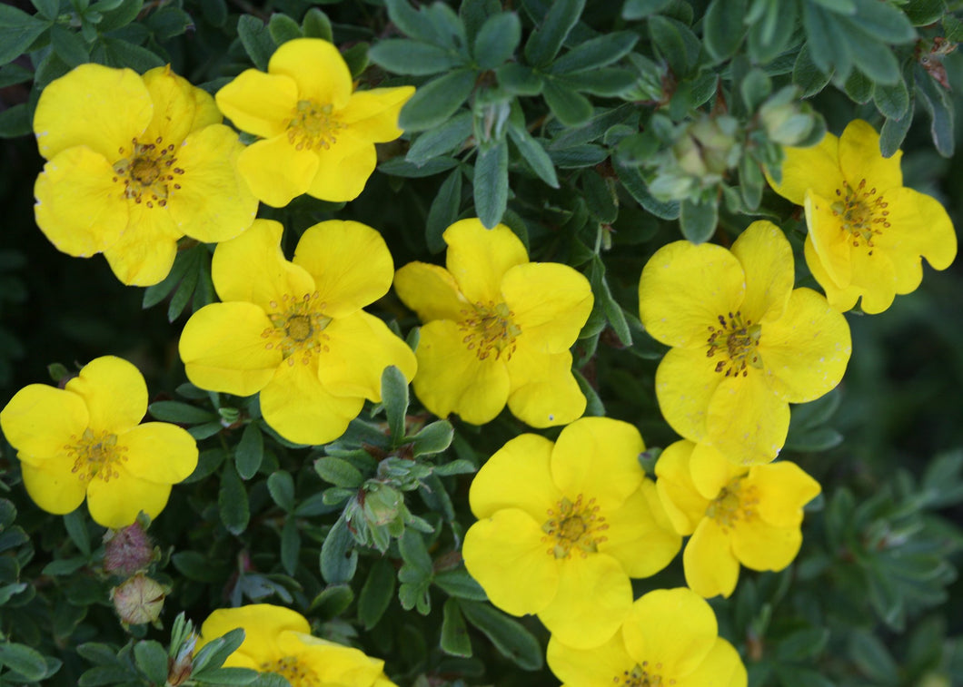 Potentilla 2gal SOLD OUT