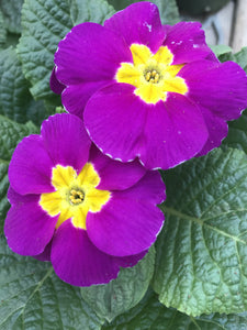 "4"" Primula SOLD OUT"