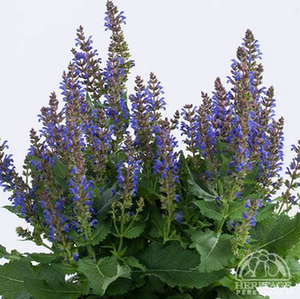 Salvia blue 1gal