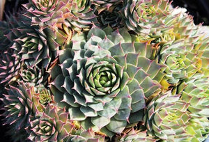Sempervivum - Hens and Chicks 1gal ON SALE - AVAILABLE ONLY IN STORE