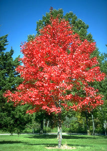 Maple Autumn Blaze 15gal - GRADUATION TREE! AVAILABLE IN STORE ONLY