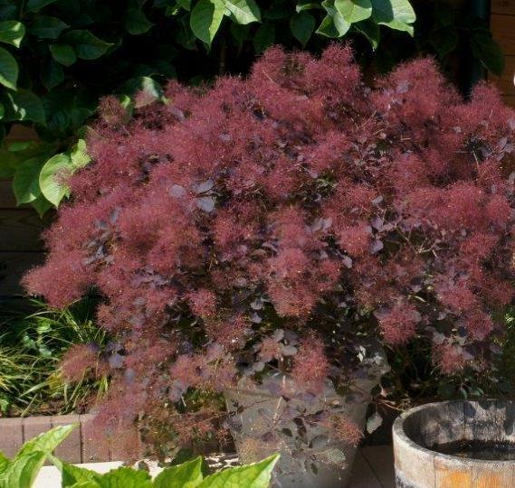 Smokebush purple 2gal