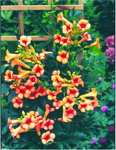 Trumpet Vine 2gal AVAILABLE IN STORE ONLY