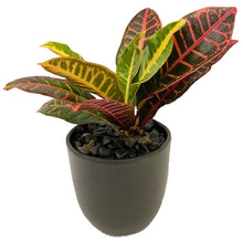 "Load image into Gallery viewer, Urban Tropical - 4"" Croton"