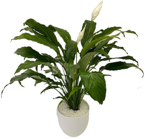 "Urban Tropical - 6"" Peace Lily"