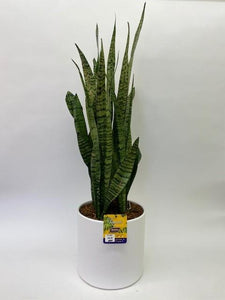 "Urban Tropical - 10"" Sanseveria"