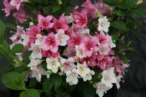 Weigela Czechmark Trilogy PW 2gal-  ON SALE! AVAILABLE ONLY IN STORE
