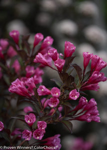 Weigela Wine and Roses PW 2gal ON SALE