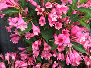 Weigela Czechmark Two Pink 2gal - AVAILABLE IN STORE