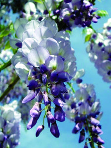 Wisteria Blue Moon 2gal AVAILABLE IN STORE ONLY