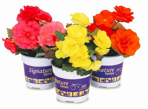 "4"" Non Stop Begonias - Pack 5 AVAILABLE IN STORE ONLY"