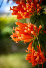 Load image into Gallery viewer, Trumpet Vine 2gal AVAILABLE IN STORE ONLY