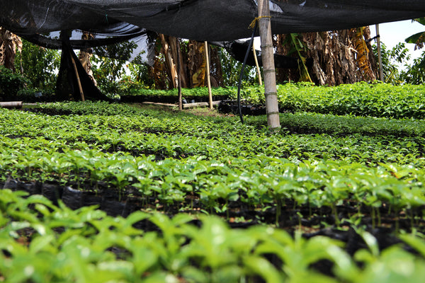 Coffee seedlings in San Juan, Colombia - Specialty Coffee Melbourne