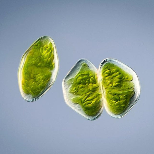 This is a green algae...