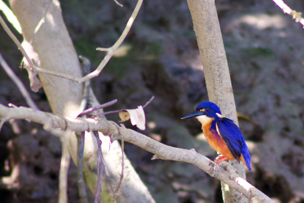 Azure Kingfisher Daintree River