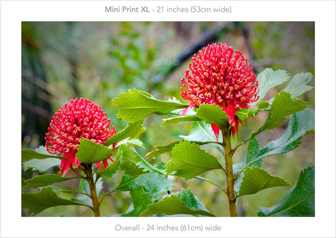 Waratah Pair- Mini Print XL