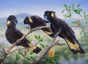 Banksia Banquet - Yellow-tailed Black Cockatoo's | Natalie Jane Parker Australian Native Fauna Print