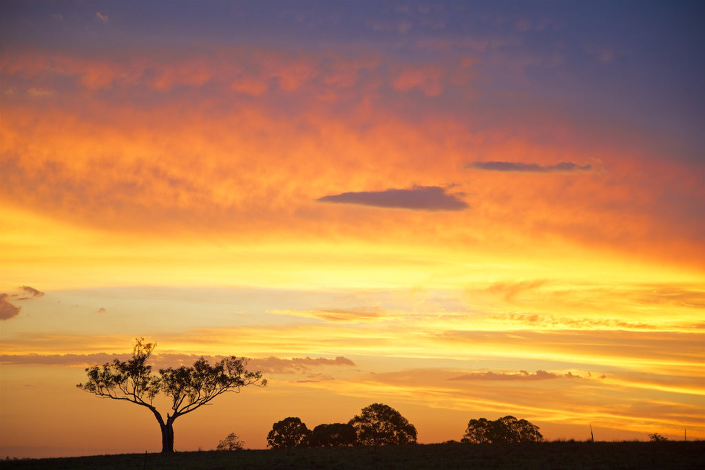Golden Sentinel - Hunter Valley NSW Australia Landscape Print
