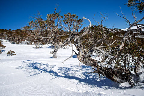 Twisted - Perisher Kosciuszko National Park NSW Australia Landscape Print
