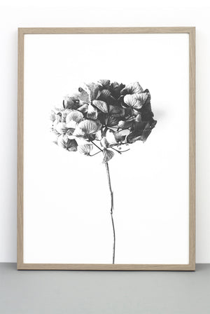 WHOLESALE HONEY HONEY PRINT,  A BOTANICAL PHOTOGRAPHIC BLACK AND WHITE POSTER