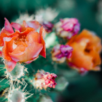 Load image into Gallery viewer, Cactus Flower and Jade