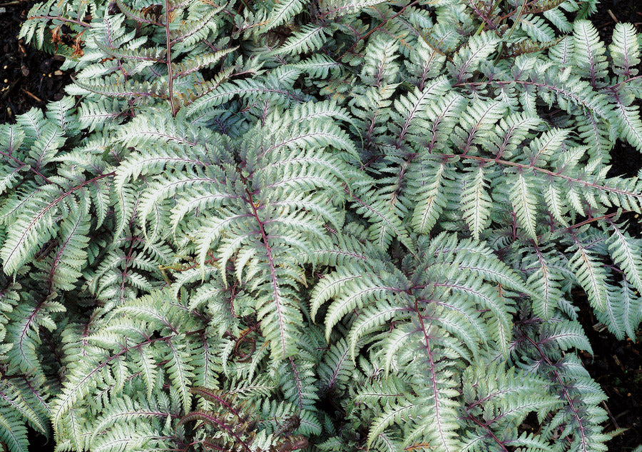 (Painted Fern)