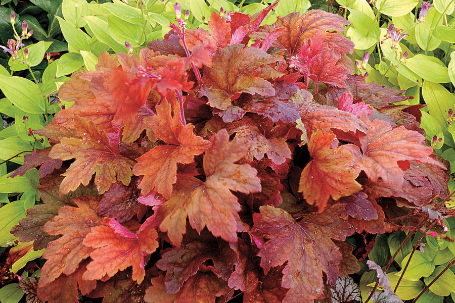 coppery foliage