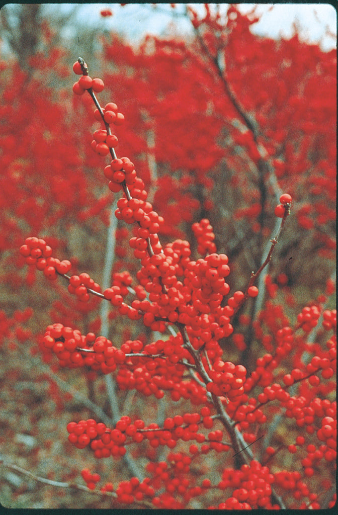 showy red berries